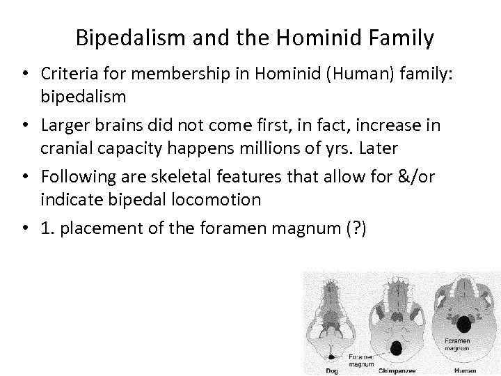 Bipedalism and the Hominid Family • Criteria for membership in Hominid (Human) family: bipedalism
