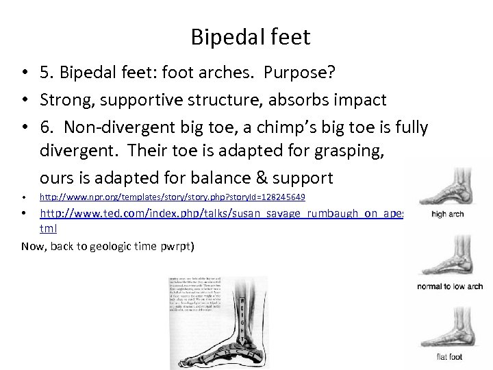 Bipedal feet • 5. Bipedal feet: foot arches. Purpose? • Strong, supportive structure, absorbs