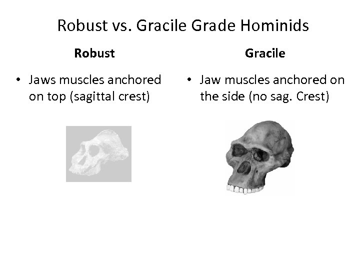 Robust vs. Gracile Grade Hominids Robust • Jaws muscles anchored on top (sagittal crest)