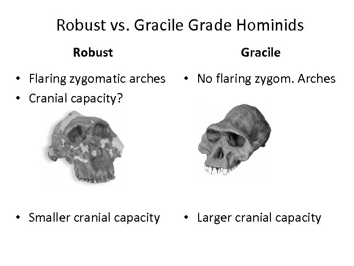 Robust vs. Gracile Grade Hominids Robust Gracile • Flaring zygomatic arches • Cranial capacity?