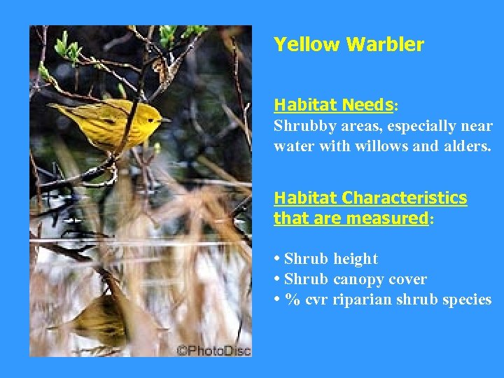 Yellow Warbler Habitat Needs: Shrubby areas, especially near water with willows and alders. Habitat
