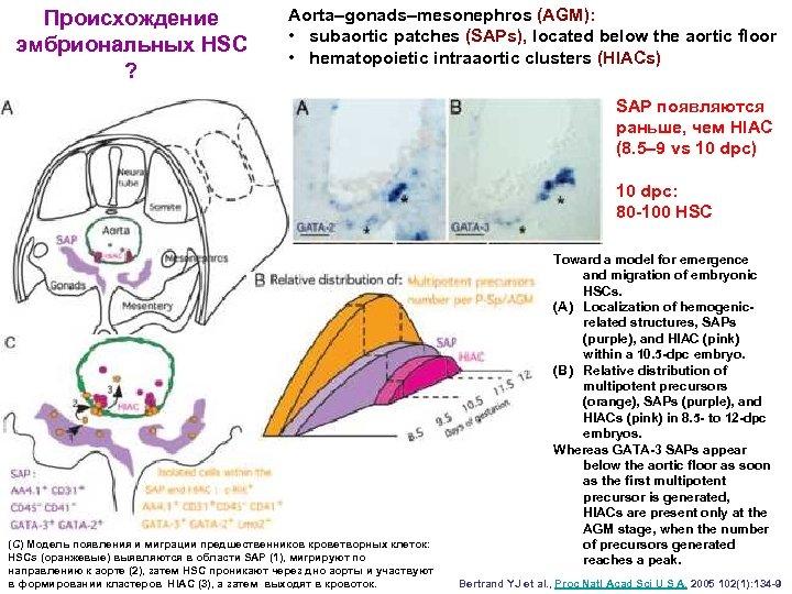 Происхождение эмбриональных HSC ? Аorta–gonads–mesonephros (AGM): • subaortic patches (SAPs), located below the aortic
