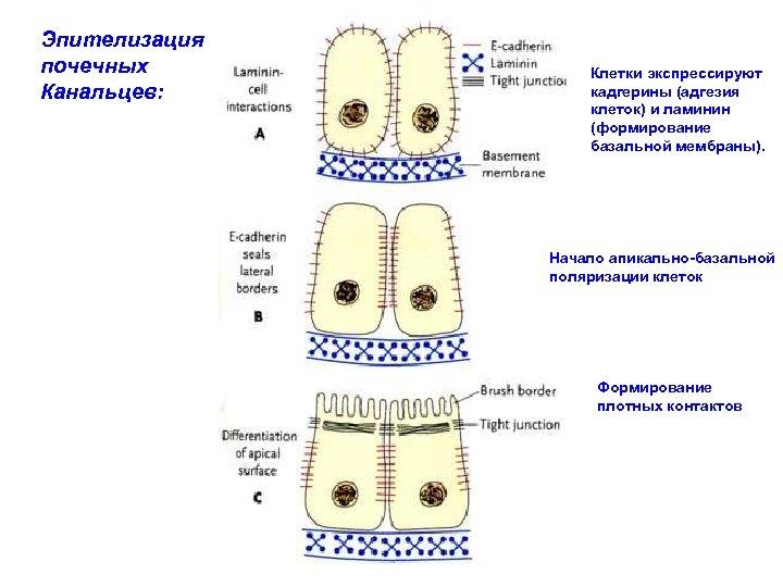 Эпителизация почечных Канальцев: Клетки экспрессируют кадгерины (адгезия клеток) и ламинин (формирование базальной мембраны). Начало