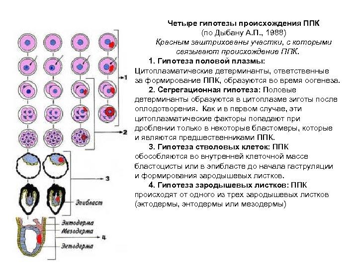 Четыре гипотезы происхождения ППК (по Дыбану А. П. , 1988) Красным заштрихованы участки, с