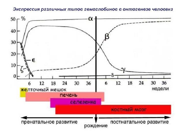 Экспрессия различных типов гемоглобинов в онтогенезе человека