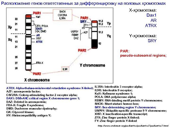 Расположение генов ответственных за дифференцировку на половых хромосомах Х-хромосома: Dax 1 AR ATRX Y-хромосома: