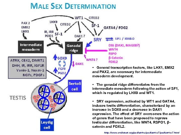 • General transcription factors, like LHX 1, EMX 2 and PAX 2, are