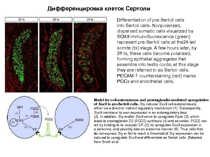 Дифференцировка клеток Сертоли Differentiation of pre-Sertoli cells into Sertoli cells. Nonpolarized, dispersed somatic cells