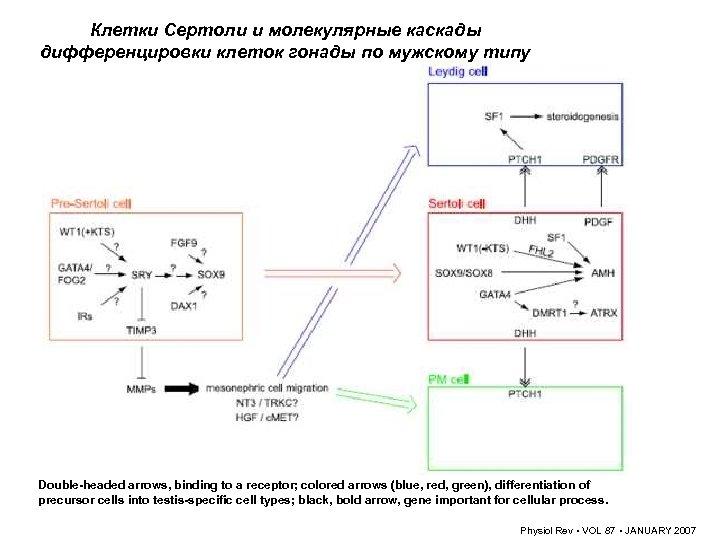 Клетки Сертоли и молекулярные каскады дифференцировки клеток гонады по мужскому типу Double-headed arrows, binding