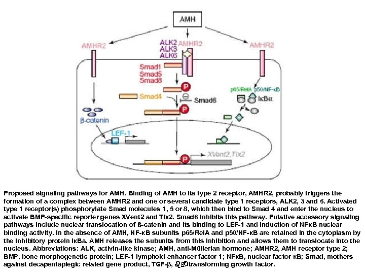 Proposed signaling pathways for AMH. Binding of AMH to its type 2 receptor, AMHR