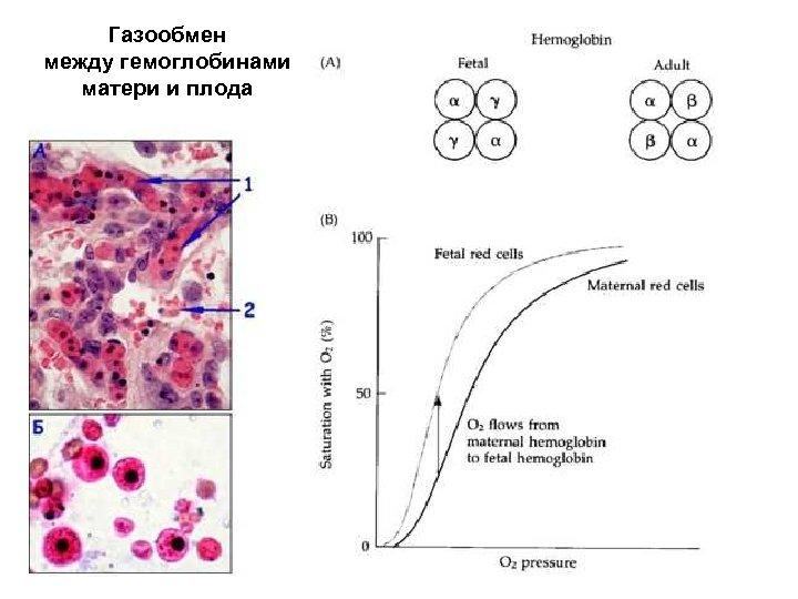 Газообмен между гемоглобинами матери и плода
