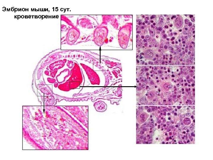 Эмбрион мыши, 15 сут. кроветворение