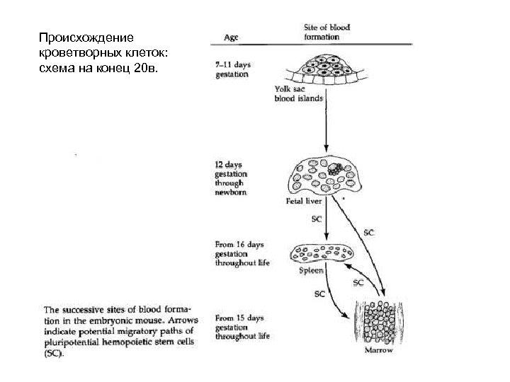 Происхождение кроветворных клеток: схема на конец 20 в.