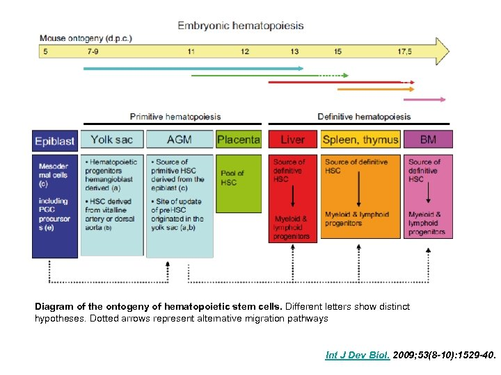 Diagram of the ontogeny of hematopoietic stem cells. Different letters show distinct hypotheses. Dotted