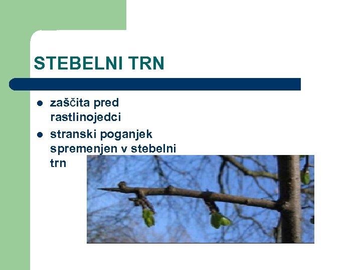 STEBELNI TRN l l zaščita pred rastlinojedci stranski poganjek spremenjen v stebelni trn