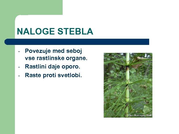 NALOGE STEBLA - Povezuje med seboj vse rastlinske organe. Rastlini daje oporo. Raste proti