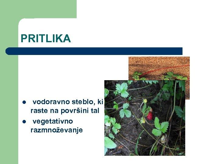 PRITLIKA l l vodoravno steblo, ki raste na površini tal vegetativno razmnoževanje