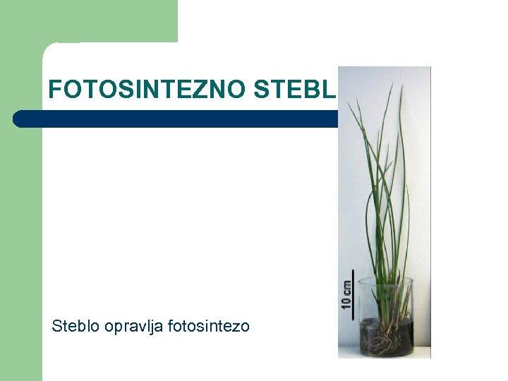 FOTOSINTEZNO STEBLO Steblo opravlja fotosintezo