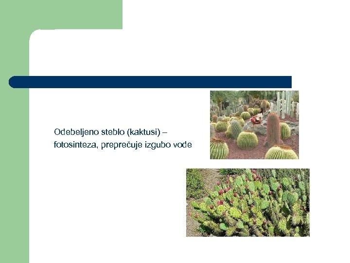 Odebeljeno steblo (kaktusi) – fotosinteza, preprečuje izgubo vode