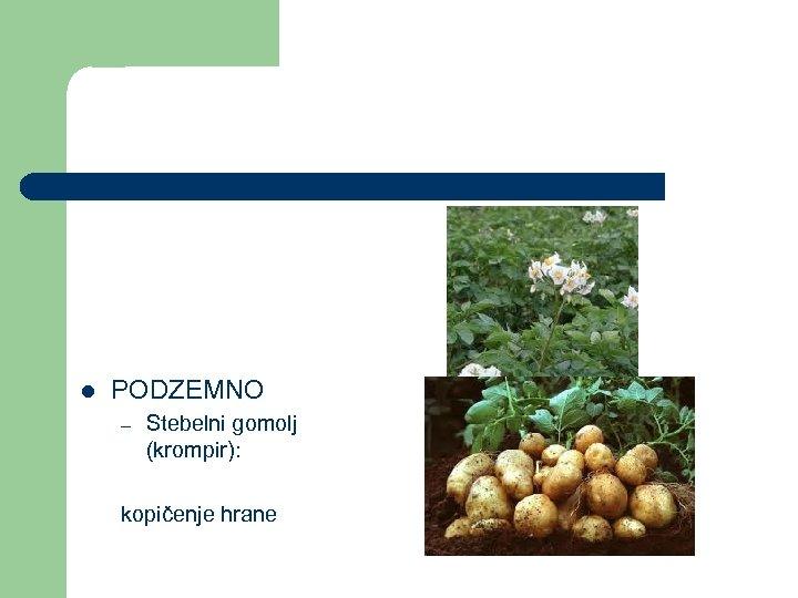 l PODZEMNO – Stebelni gomolj (krompir): kopičenje hrane