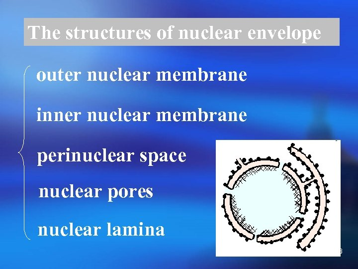 The structures of nuclear envelope outer nuclear membrane inner nuclear membrane perinuclear space nuclear