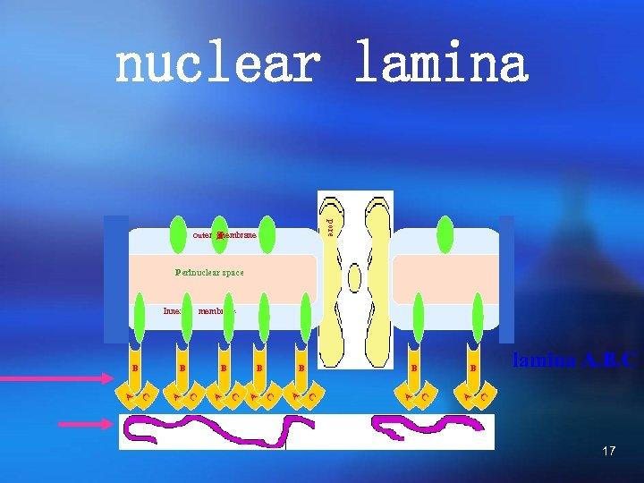 nuclear lamina pore outer 蛋 membrane Perinuclear space Inner membrane B B B B