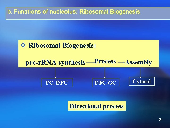b. Functions of nucleolus: Ribosomal Biogenesis v Ribosomal Biogenesis: pre-r. RNA synthesis Process Assembly