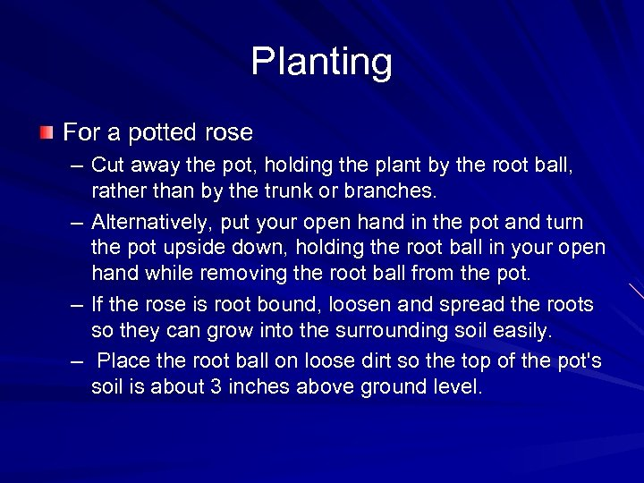 Planting For a potted rose – Cut away the pot, holding the plant by