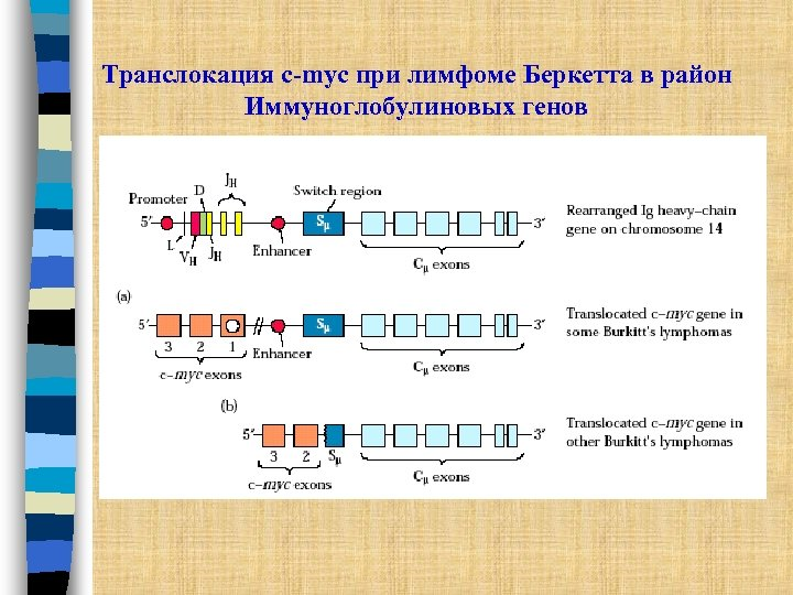 Транслокация c-myc при лимфоме Беркетта в район Иммуноглобулиновых генов