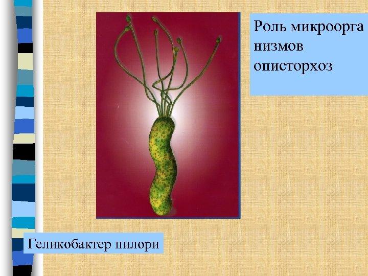 Роль микроорга низмов описторхоз Геликобактер пилори