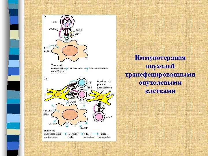Иммунотерапия опухолей трансфецированными опухолевыми клетками