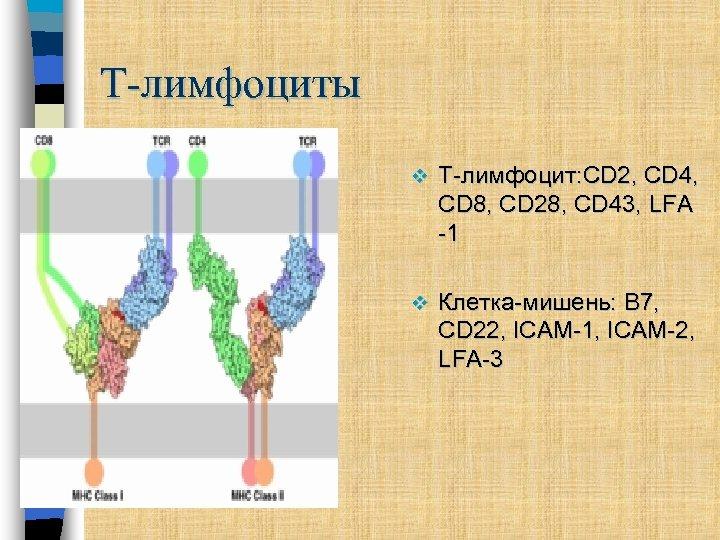 Т-лимфоциты v Т-лимфоцит: CD 2, CD 4, CD 8, CD 28, CD 43, LFA