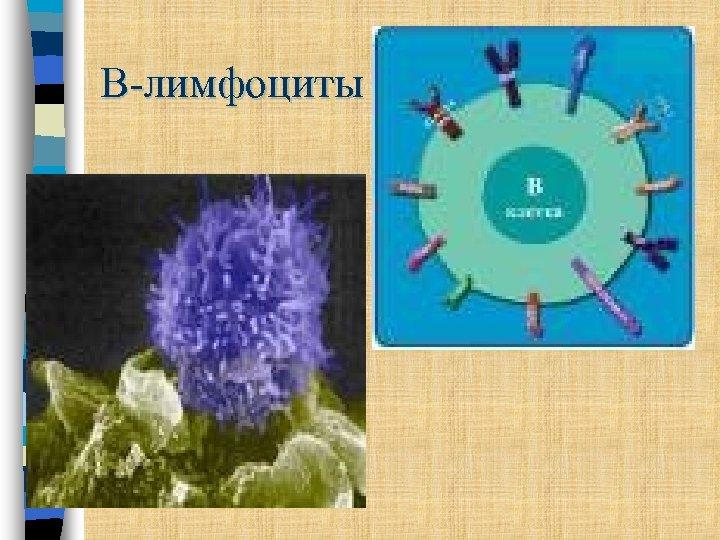 В-лимфоциты