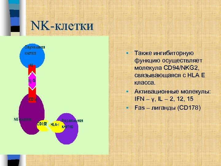 NK-клетки Также ингибиторную функцию осуществляет молекула CD 94/NKG 2, связывающаяся с HLA E класса.