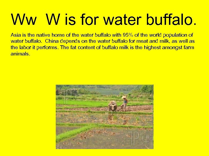 Ww W is for water buffalo. Asia is the native home of the water
