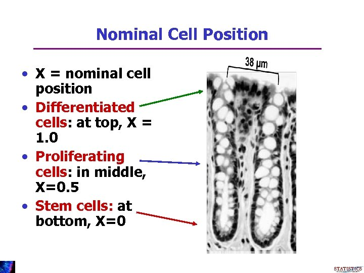 Nominal Cell Position • X = nominal cell position • Differentiated cells: at top,