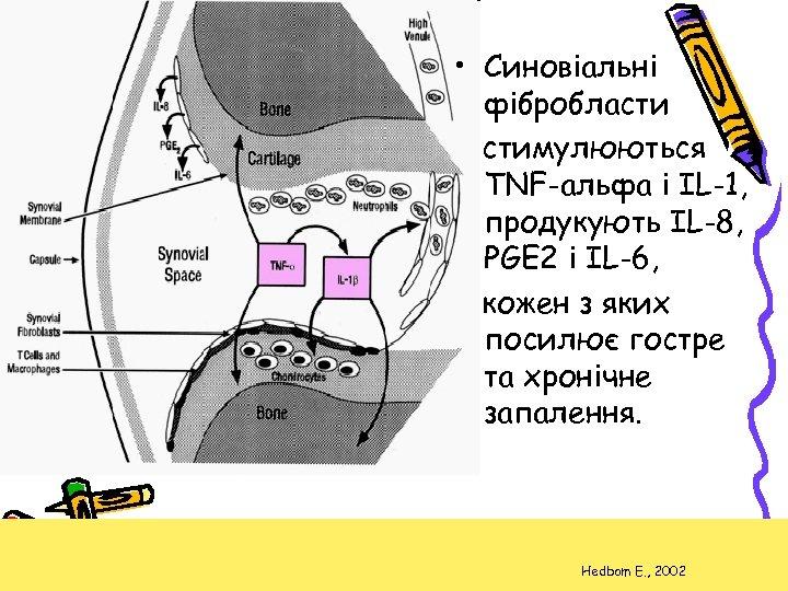 • Синовіальні фібробласти стимулюються TNF-альфа і IL-1, продукують IL-8, PGE 2 і IL-6,