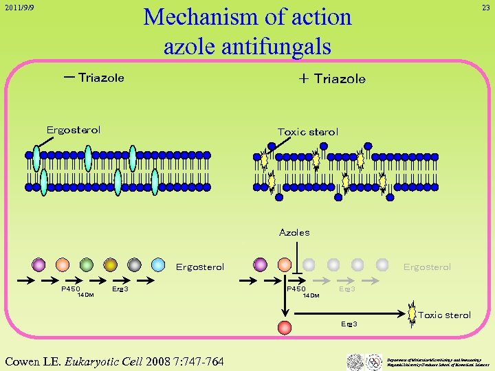 Mechanism of action azole antifungals 2011/9/9 ー Triazole 23 + Triazole Ergosterol Toxic sterol
