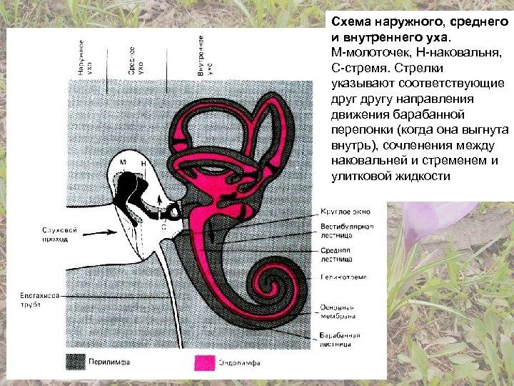 Схема наружного, среднего и внутреннего уха. М-молоточек, Н-наковальня, С-стремя. Стрелки указывают соответствующие другу направления