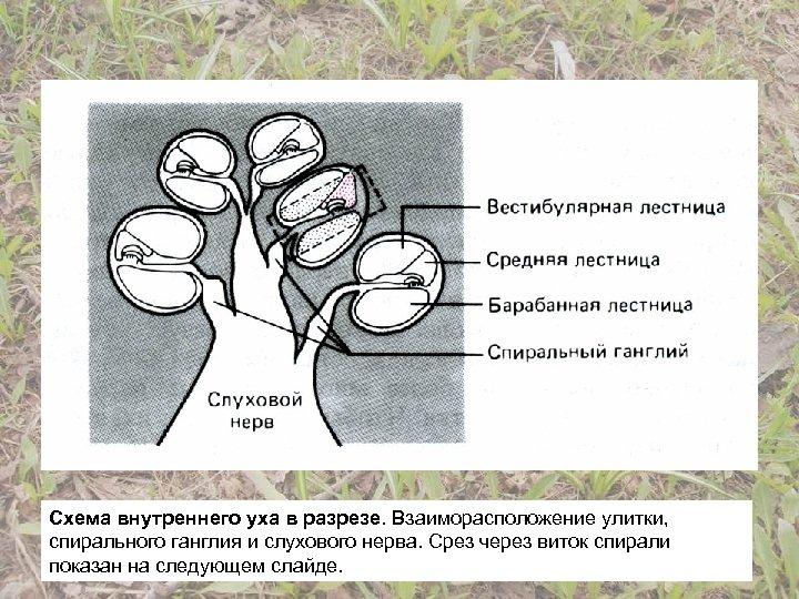 Схема внутреннего уха в разрезе. Взаиморасположение улитки, спирального ганглия и слухового нерва. Срез через