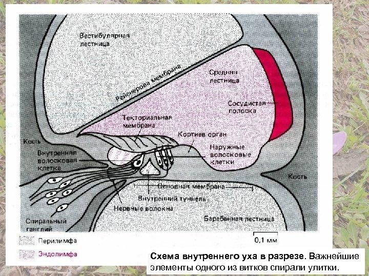 Схема внутреннего уха в разрезе. Важнейшие элементы одного из витков спирали улитки.
