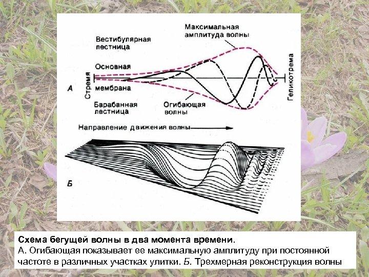 Схема бегущей волны в два момента времени. А. Огибающая показывает ее максимальную амплитуду при