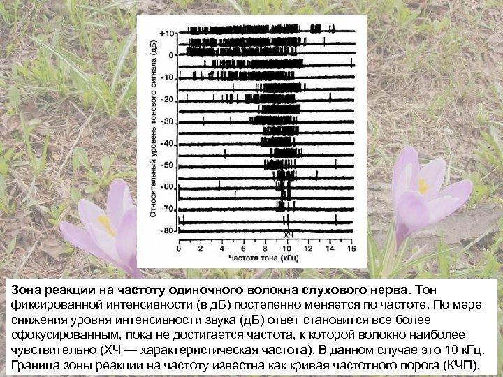 Зона реакции на частоту одиночного волокна слухового нерва. Тон фиксированной интенсивности (в д. Б)