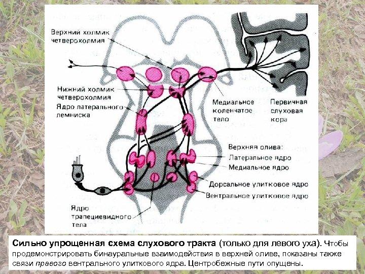 Сильно упрощенная схема слухового тракта (только для левого уха). Чтобы продемонстрировать бинауральные взаимодействия в