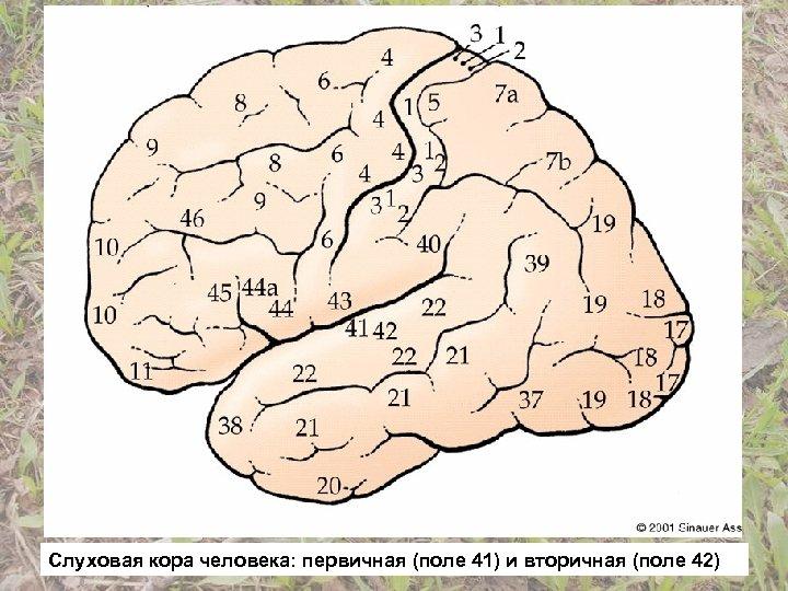 Слуховая кора человека: первичная (поле 41) и вторичная (поле 42)