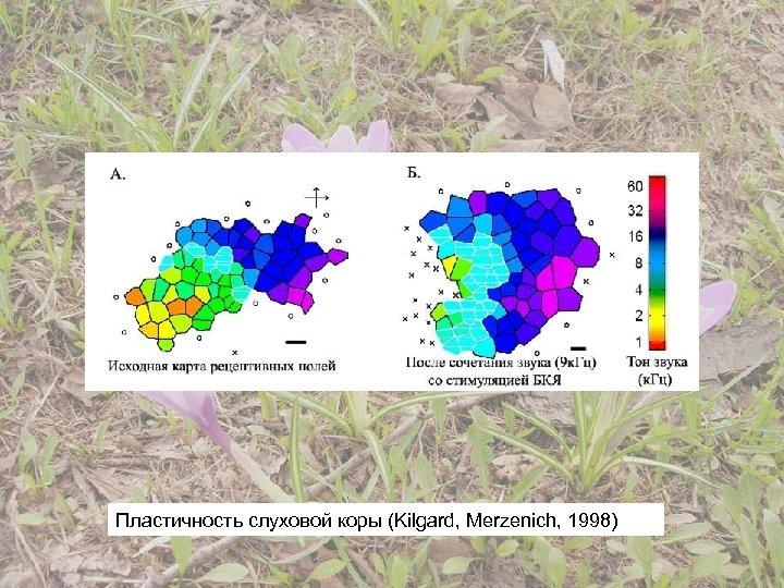 Пластичность слуховой коры (Kilgard, Merzenich, 1998)