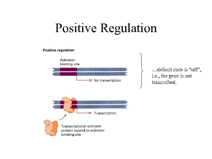 "Positive Regulation …default state is ""off"", i. e. , the gene is not transcribed."