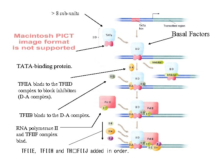 > 8 sub-units Basal Factors TATA-binding protein. TFIIA binds to the TFIID complex to