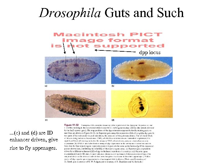 Drosophila Guts and Such dpp locus . . . (c) and (d) are ID