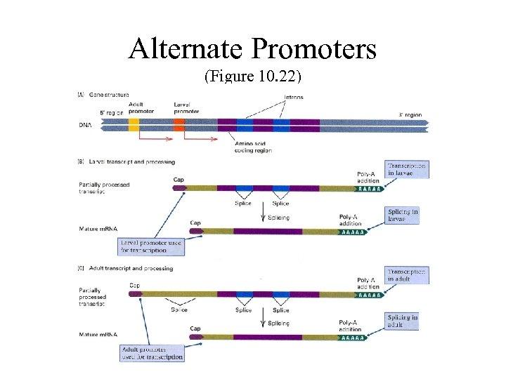 Alternate Promoters (Figure 10. 22)